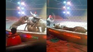 بالفيديو| نمر ولبؤة يهاجمان حصانا أثناء بروفة في السيرك الصيني