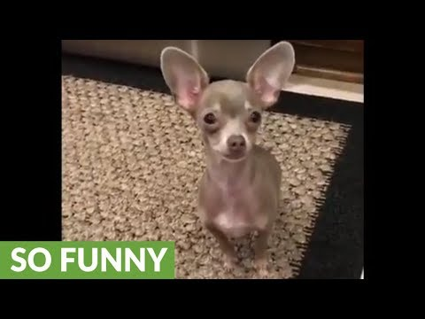 Chihuahua plays along to classic children's song