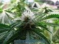 Royal Queen Seeds Autoflowering EASY BUD - Flowering Closeups