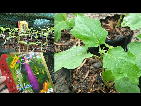 how to grow eggplant - my agriculture