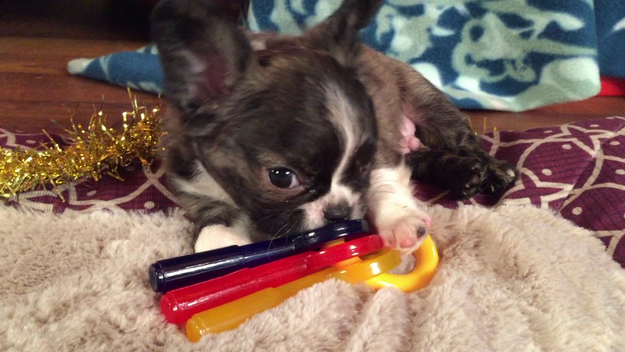 "french bulldog hybrid royal frenchel micro mini ""chevy"""
