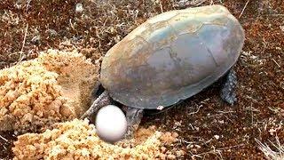 Как болотная черепаха откладывает яйца