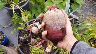 Zbiór pomidorów i buraków | Doniczkowa uprawa warzyw 2017