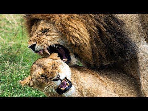 When Lions Attack