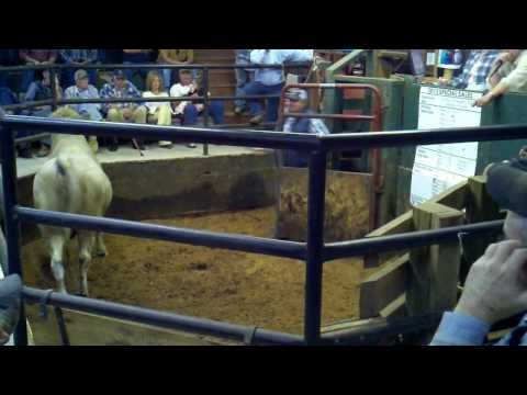 Athens Stockyard,TN - Our First Ranch Sale -- A Bull Named Rocky