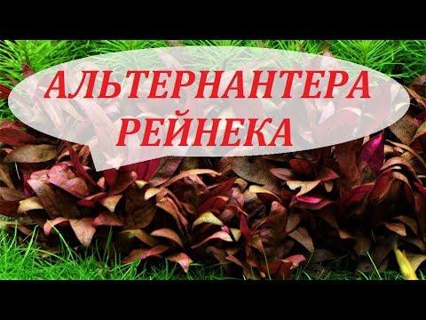 Альтернантера Рейнека. Аквариумные растения. Уход, размножение, содержание. Alternanthera reineckii