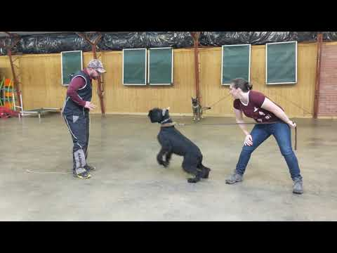 "Black Giant Schnauzer ""Ty"" 7 Mo's Protection Training Development BAB Participant"