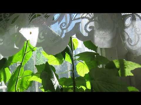 Абутилон- от посадки семян до цветения