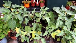 Datura Plants in Bud, Flower & Fruit and Cactus Plants in our Yard Update