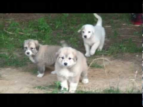 Great Pyrenees mixed with Anatolian Shepherd Puppies
