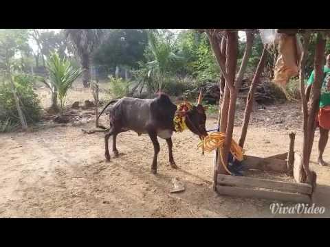 Kombu vacha singam da tamilanda