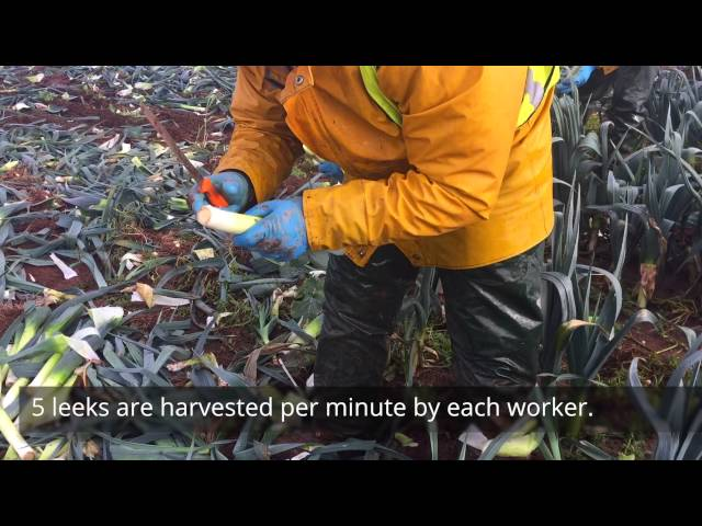 Video about Leek Harvesting