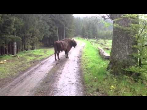 Wisente am Wegesrand Bad Berleburg / Rothaarsteig - YouTube