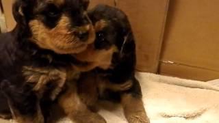 間もなく1ヶ月を迎えるエアデールテリアの子犬たち。 ケージの中での動...