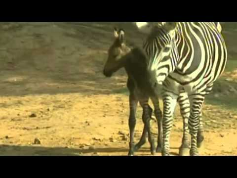 Zebra crossed with donkey