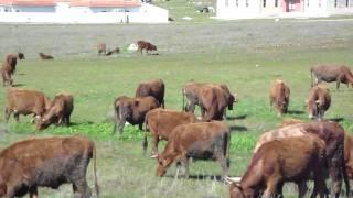 Troupeau bovin de race Blonde d'Oulmès Zaër sur le plateau d'Oulmès