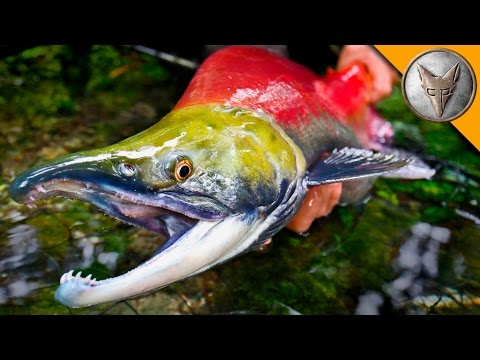 MONSTER Sockeye Catch!