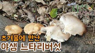 초겨울에 만난 야생 느타리버섯