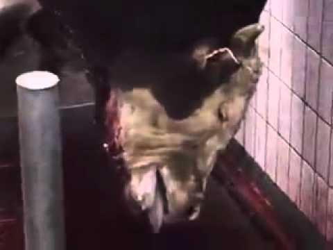 Как убивают коров видео