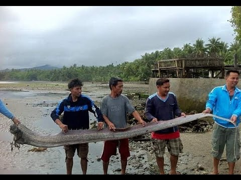 The giant sea creature Oarfish resurfaces, Mysterious sightings prompt fears