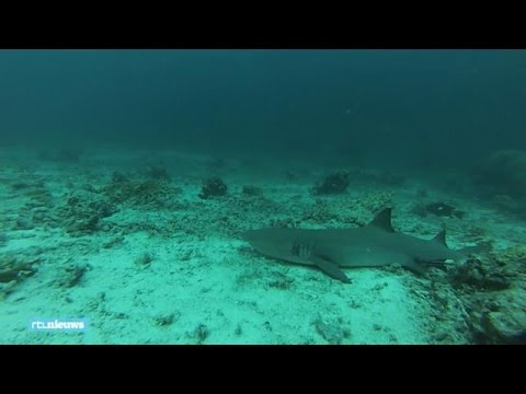De rifhaai: de haaiensoort die Freek Vonk beet - RTL NIEUWS