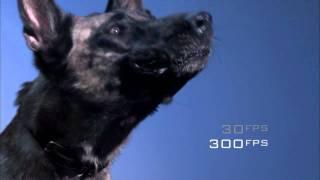 Видео немецкой овчарки дрессировка www.warpvideo.ru