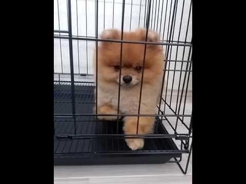 Satilik Pomaranian Boo Yavrular Sale Boo Dog Minimini Patiler