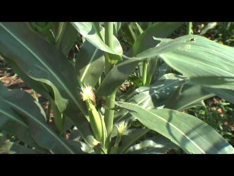 Elizabeth Jele, South African Farmer on Biotech Corn