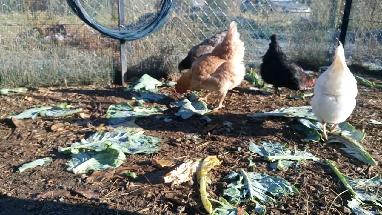 Tavukların bulaşıcı olmayan hastalıkları