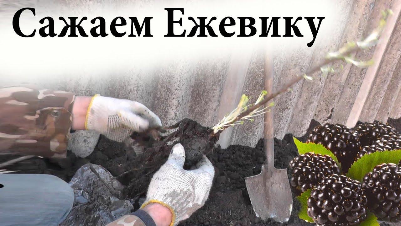 Посадка огурцов в открытый грунт 25