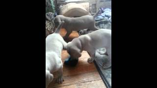 Weimaraner Puppies At Play