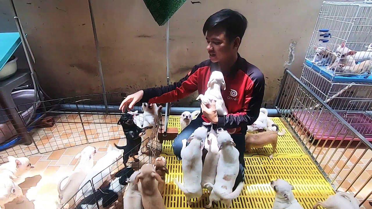 Thăm Trại Nuôi Chó ChiChi HuaHua thuần chủng của Cô Lan Quận Bình Thạnh