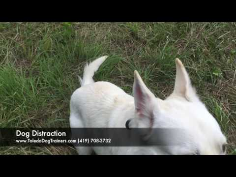 Dog Training: 1 year old White German Shepherd, Kaci- Before/After Two Week Board and Train
