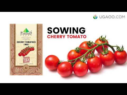 How to Grow Cherry Tomato from Seeds