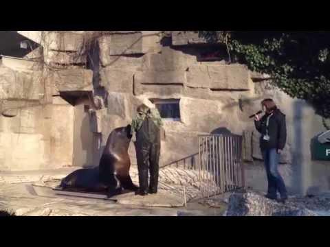 Robbenfütterung Tiergarten Schönbrunn - Seal feeding  (Zoo Vienna 2014)
