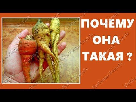 Почему морковь корявая и рогатая. Ошибки выращивания моркови