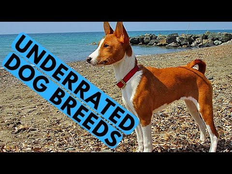 TOP 10 Most Underrated Dog Breeds