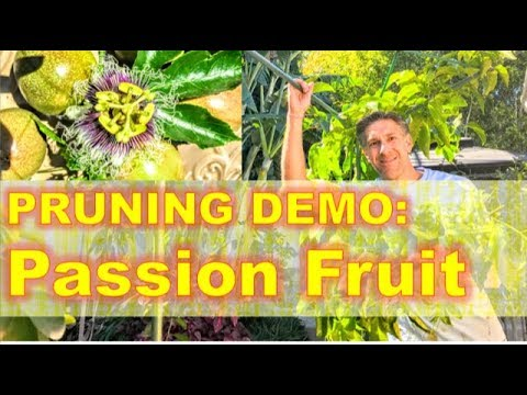 Passion Fruit PRUNING Demo |  by as much as 90% !!! |  Bonus: Humming Bird Chicks Being Fed! :-)