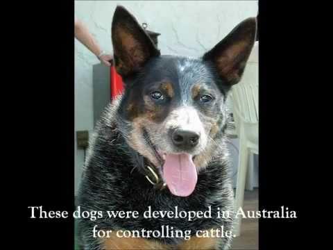 Australian Cattle Dog Breed Explained