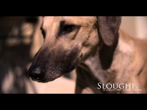 4K Ultra HD SuperSlowMotion 200fs - Sloughi, Arabian Sighthound 2