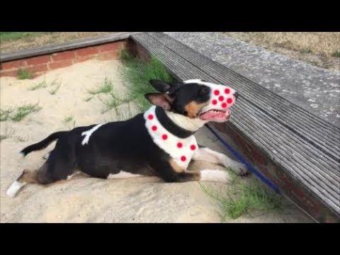 Miniatur Bull Terrier Hund chillt im Sandkasten