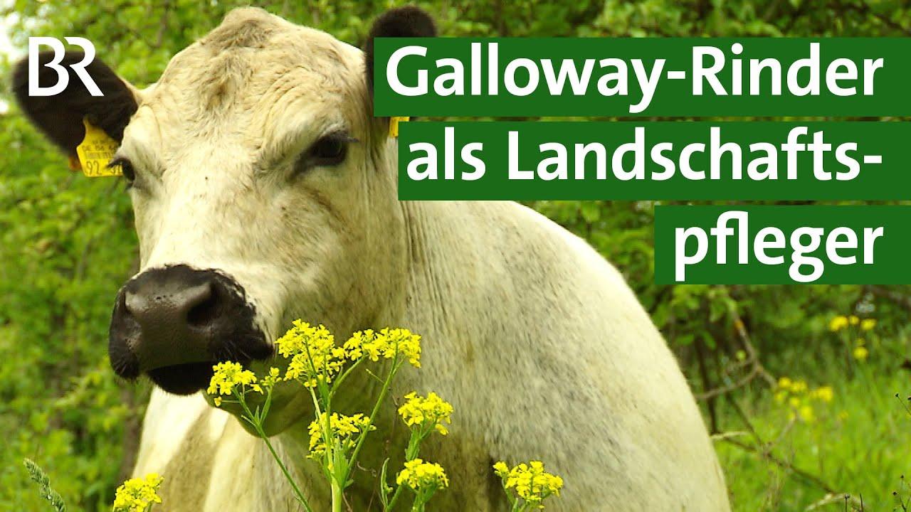 Kampf gegen invasive Neophyten - Galloway-Rinder als Landschaftspflege | Unser Land | BR