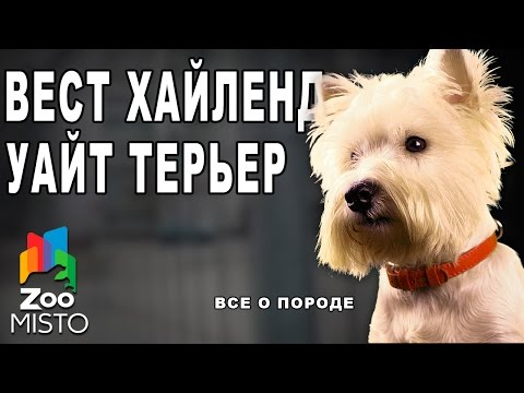 Собака породы белый высокогорный терьер (вайт, уайт терьер)