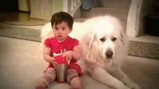 Baby growing up with Great Pyrenees Dogs