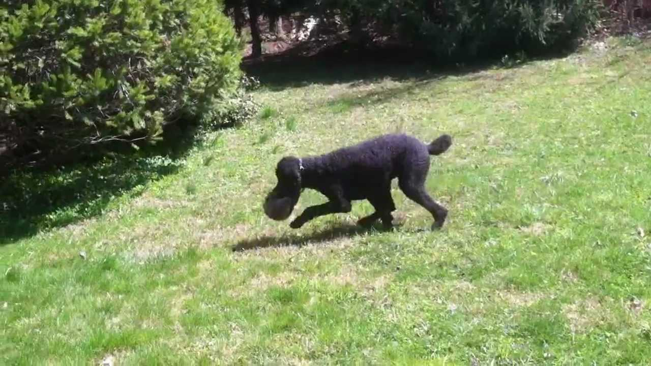 Poodle Beast Takes Down Aggressive Woodchuck Youtube