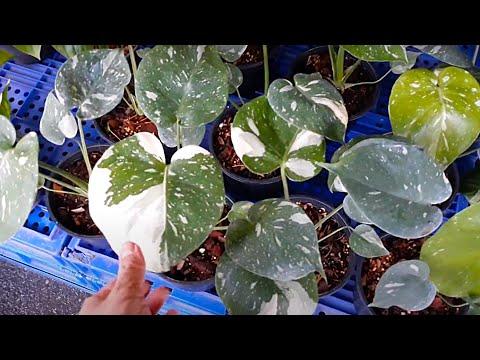 Chatuchak plant market tour: Variegated plants #1