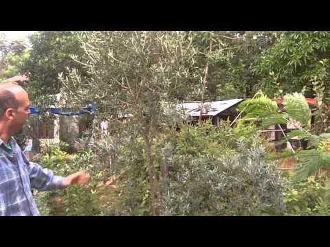 900-0857-olivenbaum-3-jahre