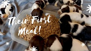 3 week English Springer Spaniel eating food for the first time.