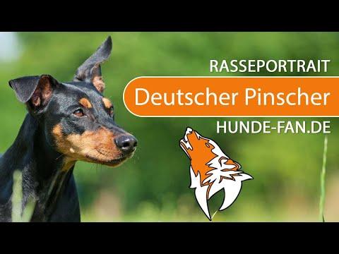 Deutscher Pinscher [2018] Rasse, Aussehen & Charakter