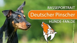 German Pinscher [2018] Breed, Appearance & Character